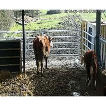 High Resolution Cow Calving Camera over O2 3G