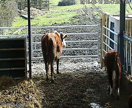 Cow Calving PTZ Camera on 3G