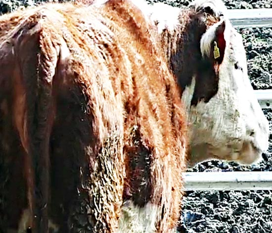 Cow Calving PTZ Camera on 3G